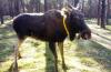 Vorschaubild der Meldung: Brandenburger Elch künftig mit Sender unterwegs