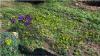 Vorschaubild der Meldung: Nachrichten aus dem Hotzenwald Naturgarten: Pflanzenbild - Der Wald-Gelbstern