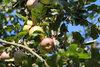 Äpfel von der Streuobstwiese im Freilandmuseum Lehde  Foto: Museum OSL