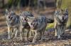 Vorschaubild der Meldung: Der Wolf ist zurück - was nun?