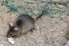Vorschaubild der Meldung: Unterstützung bei der Rattenbekämpfung