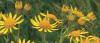 Vorschaubild der Meldung: Giftpflanze auf dem Vormarsch