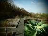 Vorschaubild der Meldung: Ein Jahr im Kräutergarten an der Berzallee Echter Beinwell (Symphytum officinale) – Heilkraut des Monats April